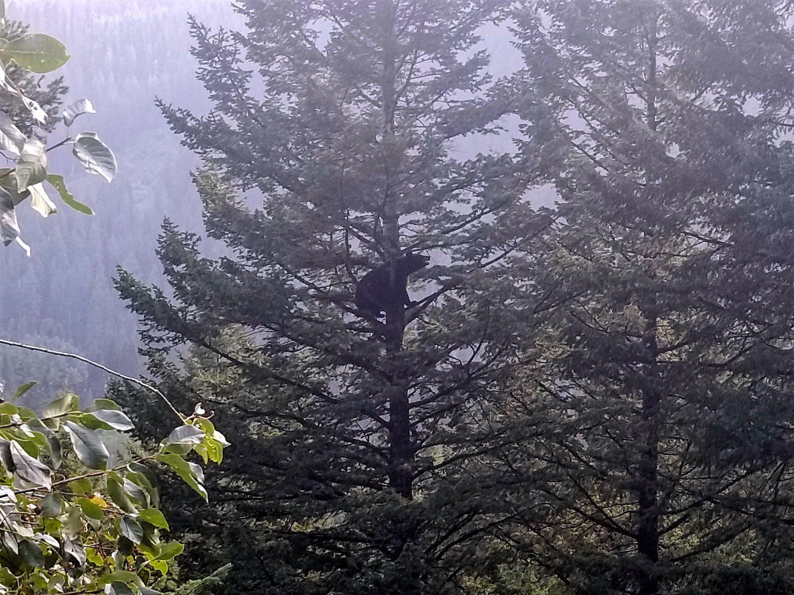 Bear in a tree at Grand Teton National Park