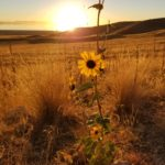 Flowers on Antelope Island at sunset
