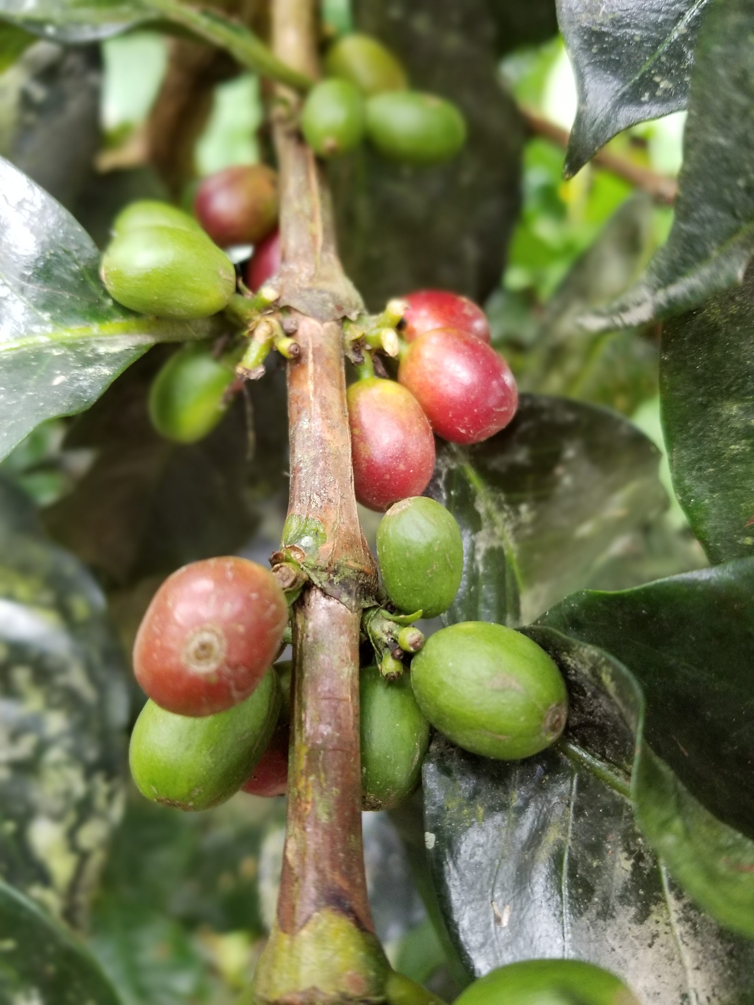Coffee cherries on the vine