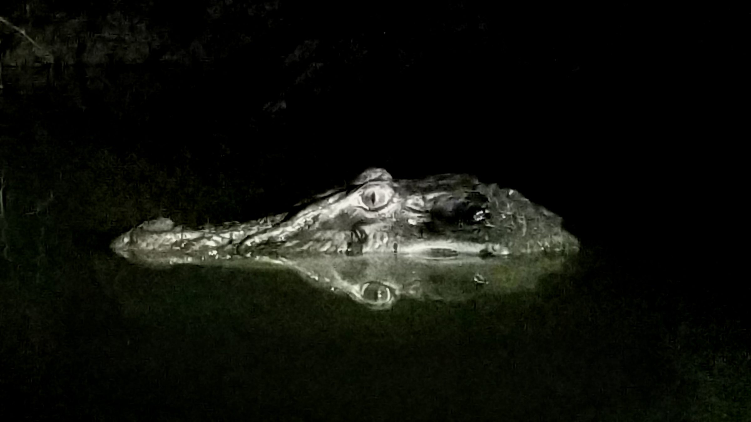 Twelve foot black caiman!