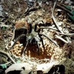 A tarantula considers heading into its hole