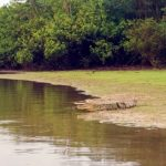 Caiman next to our swimming hole