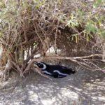 Magellanic penguins breeding in Argentina