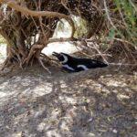 Penguins breeding in Monte Leon National Park Argentina