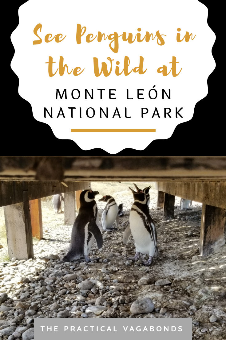 Ever wanted to see wild penguins in Patagonia? But it is expensive right? Wrong! You can see them for free most of the year here at Monte Leon National Park. It's Penguin time! #argentinatravel #penguins #southamericatravel #wildpenguins
