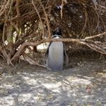 Magellanic penguin standing in the shade